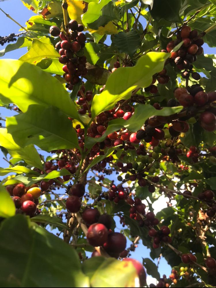 Pé de café com frutos madurinhos